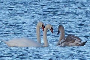 Loch Kinord - Swans and Joey - explaining it can be cold being a swan sometimes maybe